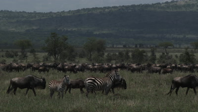 Wildebeests ( Connochaetes taurinus ) gathered during their annual Migration,two Zebra's in front watching them.
