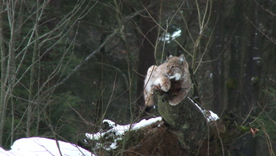 Eurasian lynx (lynx lynx) in winter forest sharpening his claws on tree stump,hard wind blowing