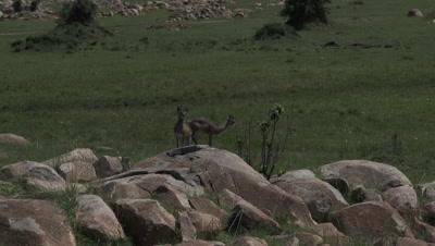 Klipspringer (Oreotragus Oreotragus) couple on rocks
