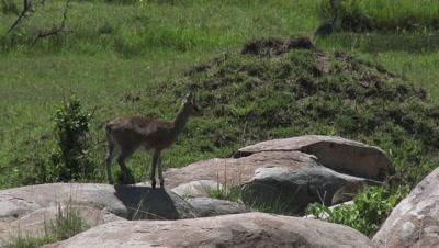 Klipspringer (Oreotragus Oreotragus) on rocks