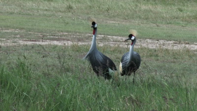 Grey Crowned Crane (Balearica regulorum) couple foraging together in reeds,  looking up when they hear something,