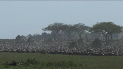 Wildebeests ( Connochaetes taurinus ) gathered during their annual Migration