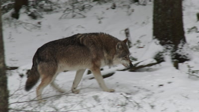 Gray wolf (Canis lupus) lone  in winter forest