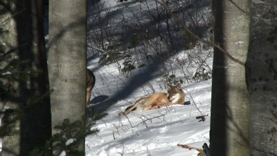 Gray wolf( Canis lupus) in winter forest, resting in sunlight and one approaching
