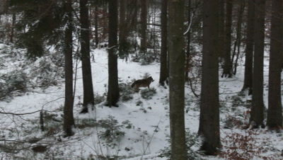 Gray wolf (Canis lupus) in winter forest, marking territory, joining rest of the pack