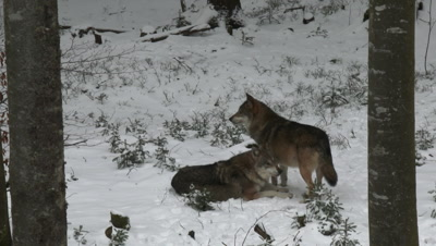 Gray wolf (Canis lupus) pack in winter forest