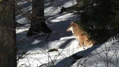 Gray wolf (Canis lupus) with a dead bird in winter forest, yawning, sitting in sunbeam.