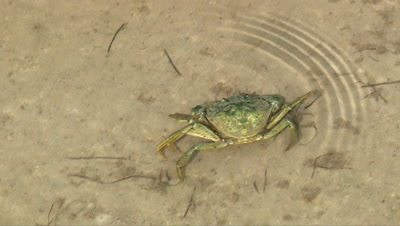 Crab in water seen from above