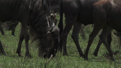 Wildebeests ( Connochaetes taurinus ) gathered during their annual Migration, grazing others passing by