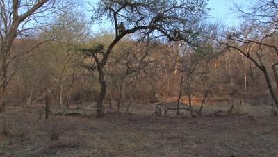 Hanuman langur (Semnopithecus entellus) sitting in a tree, others walking by.