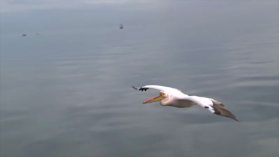 Great white Pelican (Pelecanus onocrotalus) in flight at eye-leve just above sea surface