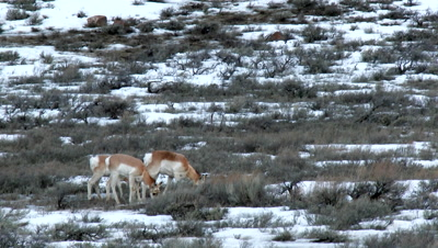 Pronghorn (Antilocapra americana) antelopes grazing between Sage bushes in winter landscape