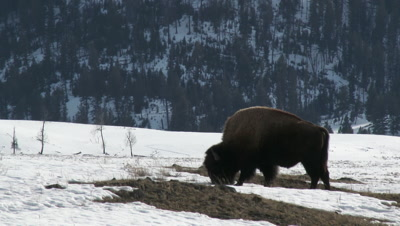 American Bison (Bison bison) scraping snow for grazing