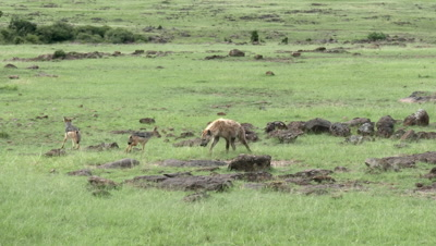 Hyena (Crocuta crocuta) sniffing around and chasing on Black-backed Jackal (Canis mesomelas)