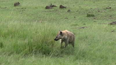 Hyena (Crocuta crocuta) sniffing on some high grasses and looking around