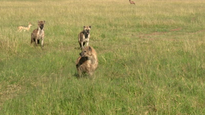 Hyena Clan (Crocuta crocuta) watching Lion (panthera leo) walking away from carcass.