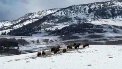 American Bison (Bison bison) grazing among sage bushes