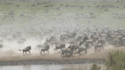 Zebra herd ( Equus quagga) together with Wildebeests ( Connochaetes taurinus) running away from water, creating a lot of dust.