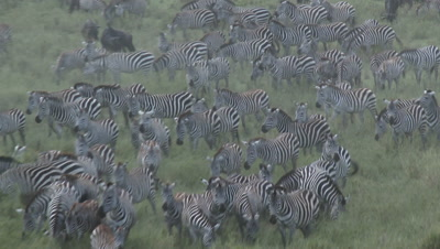 Zebra herd ( Equus quagga) together with Wildebeests ( Connochaetes taurinus) gathered grazing during their annual Migration