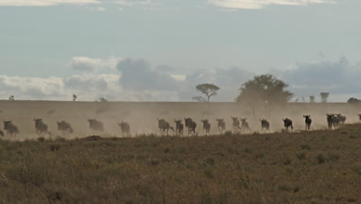 Wildebeests ( Connochaetes taurinus ) gathered and running in line during their annual Migration