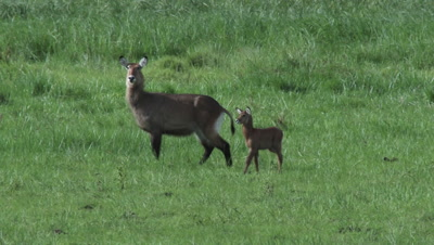 Waterbuck (Kobus ellipsiprymnus) with calf in grass field, looking at camera