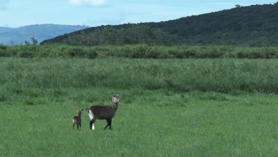 Waterbuck (Kobus ellipsiprymnus) with calf in grassland near reeds