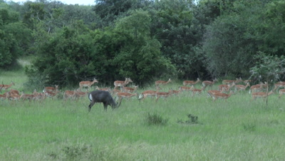 Impala (Aepyceros melampus) migrating, with Waterbuck standing in front.