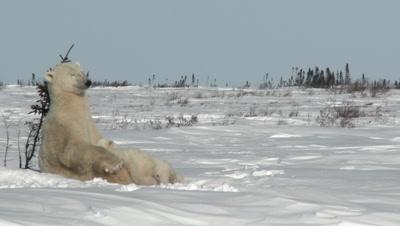 Polar Bear Denning site