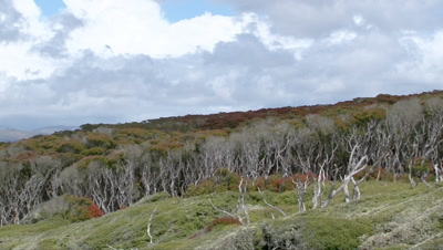 Enderby Island, in the Ross sea, with flowering Southern Rata forest canopy (Metrodsideros Umbellata)