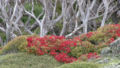 Enderby Island, in the Ross sea, with flowering Southern Rata forest canopy (Metrodsideros Umbellata)  zoom out  to landscape.