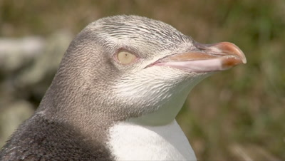 Yellow-eyed Penguin portrait on rocky coastline of Enderby Island, in the Ross sea.