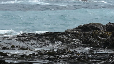 Kelp attached to rocks of Enderby Island, moving with the tide, in the Ross Sea.
