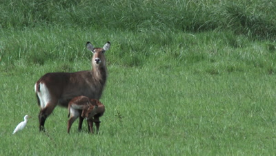 Waterbuck (Kobus ellipsiprymnus) with calf in grassland, looking at camera