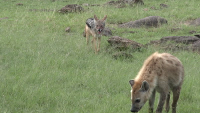 Hyena (Crocuta crocuta) sniffing around with Black-backed Jackal (Canis mesomelas) behind him