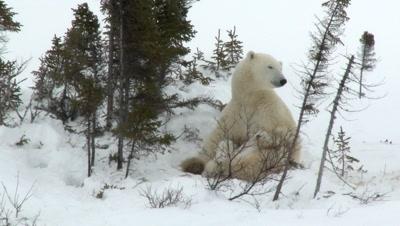 Polar Bear (Ursus maritimus) mother nursing her tiny three months old cubs climbing on her.