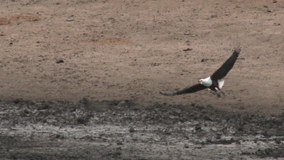 African Fish eagle (Haliaeetus vocifer) trying to catch a fish from the mud pool.