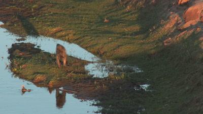 Chacma Baboon (Papio ursinus) eating on river edge, in sundown light