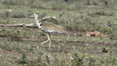 Kori Bustard (Ardeotis kori) walking on savannah.