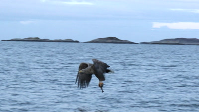 White-tailed Eagle (Haliaeetus albicilla)  catching fish out of the water
