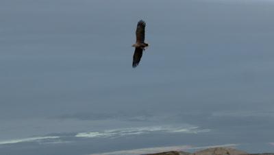 White-tailed Eagle (Haliaeetus albicilla)  in flight above sea level towards camera