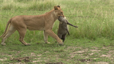African lion(Panthera leo) female is dragging a just caught Warthog ,