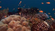 Locked Shot Of Coral Reef With Colorful Fish