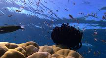 Low Angle Towards Surface Locked Shot Of Coral Reef With Colorful Fish