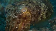 Tight Shot Of Cuttlefish