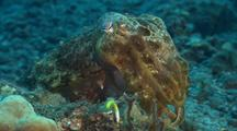 Tight Shot Of Cuttlefish