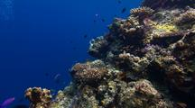 Locked Shot Of Beautiful Coral With Colorful Fish