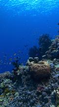 Vertical Locked Shot Of Healthy Coral Reef With Colorful Fish