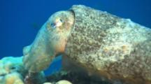 Closeup Of Cuttlefish On Reef