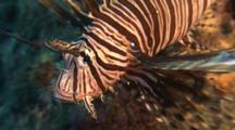 Lionfish Hovers Over Reef, Opens Mouth