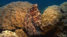 Octopus Hides On Reef, Camouflage
